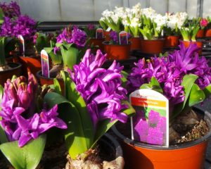hyacinths, flowers, spring flowering, flowers at Christmas, forcing hyacinths, hyacinth bulbs, indoor gardening,