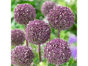 allium, structural planting, bulbs, spring flowering bulbs, planting, plant bulbs now, gardening, autumn planting, garden,