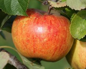apples, how to freeze apples, harvest time, picking apples, freezing apples, glut of fruit, vegetable glut, september harvest,