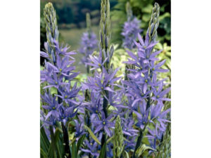 camassia, spring flowering bulbs, bulbs, spring flowers, gardening, perfectplants.co.uk,