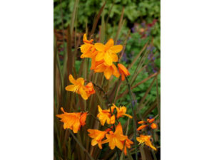 crocosmia, twilight fairy gold, montbretia, perennial, corms, bulbs, autumn planting, gardening,