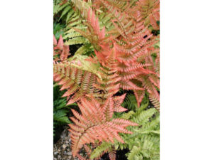 dryopteris, dryopteris erythrosora, fern, shady places, plants for shade, gardening, garden, perfectplants.co.u,k, dry shade,