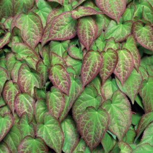 Epimedium, groundcover, perennial, plants for shade, shady places, planting, perfectplants.co.uk,
