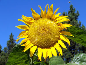 Helianthus, sunflower, autumn flowering, garden perennials, garden flowers, autumn flowers, flowering in autumn,