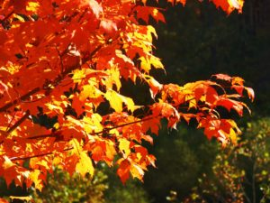 autumn leaves, burnished gold, copper, reds and oranges, blazing foliage, autumn, indian summer, autumn colour,