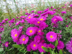 Aster, michaelmas, michaelmas daisies, october flowers, flowering in october, autumn flowers, gardening, perfectplants.co.uk,