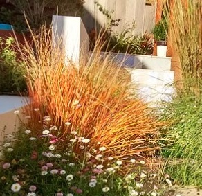 Anemanthele lessoniana, New Zealand wind grass, pheasants tail grass, ornamental grass, anemanthele, spread by seed, grasses in the garden, autumn colour, clump forming,