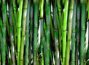 bamboo, bamboo stems, vertical accent, garden planting, ornamental grasses, gardening, planting,