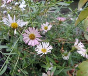 erigeron, profusion, erigeron 'Profusion', groundcover, ground cover plants, flowering perennials, autumn flowering perennials, autumn colour in the garden,