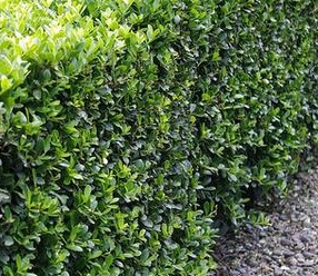 Ilex crenata, box tree, Buxus, box blight, box substitute, small leafed evergreen, topiary, hedging, hedge clipping,