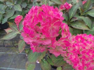 hydrangea, miss saori, shrub, garden shrub, flowering shrub, acid soil, plants for shade, flowering in October, garden plants, perfectplants.co.uk,
