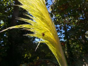 cortaderia, pampas grass, ornamental grass, clump forming grass, seedheads, flower plumes, grasses in the garden, which grass for my garden,