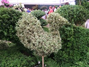Euonymus, topiary, hedges, formal garden, formal hedge, box disease, alternatives to Buxus, topiary animals, chicken, topiary shapes,