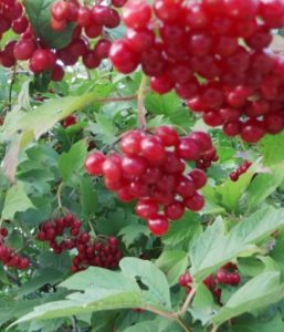 viburnum opulus, viburnum, autumn berries, october berries, colour in the autumn garden,