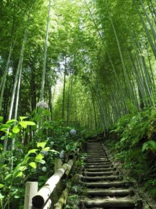 giant bamboo, bamboo, tall plants, bamboo as a crop, ornamental grasses, grasses,