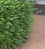Lonicera nitida, hedge, alternative to box, small leafed evergreen, topiary, formal gardens, gardening, box health,