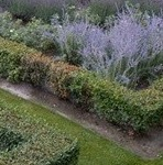 parterre, box blight, buxus, plant disease, small hedges, topiary, formal gardens, gardening, perfectplants.co.uk,