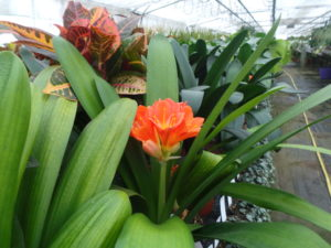 clivia house plant with an orange flower and strappy leaves in a hot house at Perfect Plants