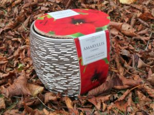Amaryllis bulb planting kit in sparkly silver pot