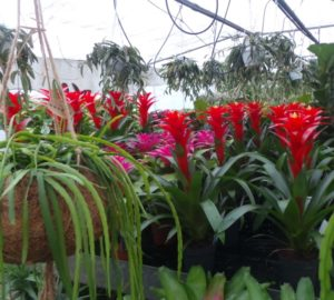 bromeliad house plants including red and pink Guzmanias with flower bracts