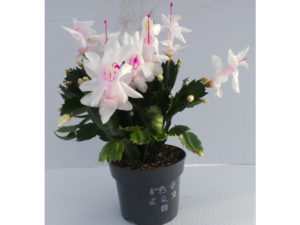 christmas cactus house plant called Schlumbergera for sale at Perfectplants.co.uk