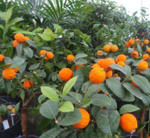 citrus trees including oranges, lemons, grapefruit, limes and limequats.