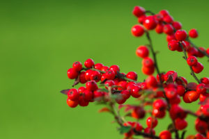 Cotoneaster horizontalis and other types of Cotoneaster have wildlife friendly berries in red, orange and yellow.