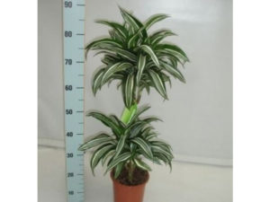 Dracaena house plant called Jade Jewel with green and white variegated foliage, an air filtering plant.