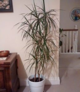 dracaena house plant in a white pot standing on the floor set against a white wall, plants are good for you.