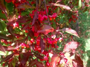 Euonymus europaeus, the spindle tree with its red, pink and orange winter fruits,