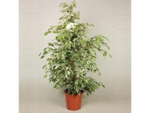 Ficus benjamina house plant in a large size, measuring about 100cm tall, Ficus benjamina Twilight has variegated green and cream leaves.