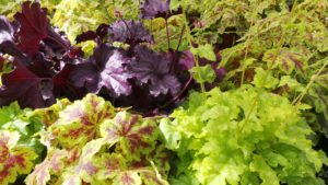 heuchera with green, yellow, maroon and purple leaves showing great contrast in colours.
