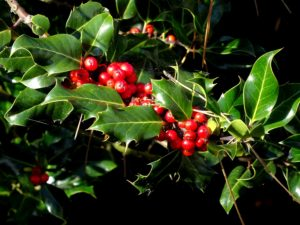 Holly shrub with evergreen leaves and bright red berries is great for decorations at Christmas