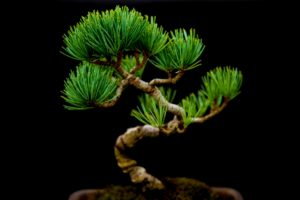bonsai trained tree house plant pruned into a curvaceous s shape