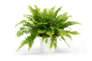 Nephrolepis indoor fern in a white pot. A house plant with style.