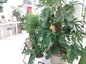 Cheese plant, indoor palm and ferns make a welcome addition to a bland office environment