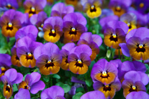 Orange and purple violas and pansies are annual plants that are always in fashion.
