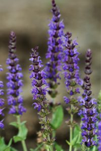purple blue Salvia with flower spikes and aromatic green foliage