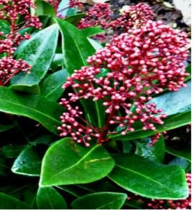 Skimmia shrub with pink flowers and evergreen glossy leaves