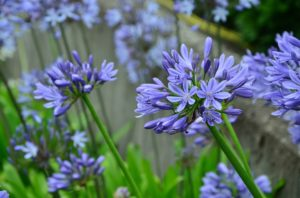 Blue Agapanthus flowers in the garden can be covered with mulch over the winter