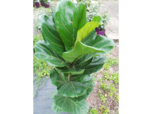ficus lyrata, fiddle leaf fig house plant has leaves shaped like violins.