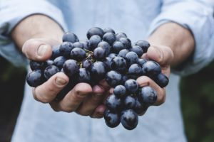 A person holding a bunch of delicious grapes having harvested them from the garden and creating Dompmine hormone.