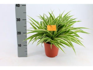 Chlorophytum the spider plant is back in the top ten of houseplants