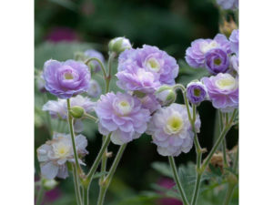 hardy geranium 'Summer Skies' with a lilac pink flower and a neatly mounded shape.