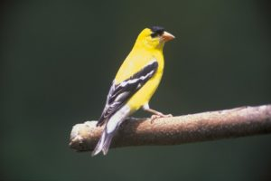 goldfinch on a branch that loves to eat nyger seed