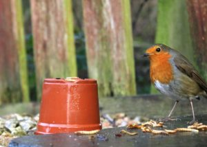 a robin eating mealworms in a garden