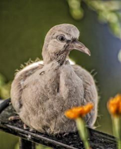 a young turtledove which is now a rare bird in the UK.