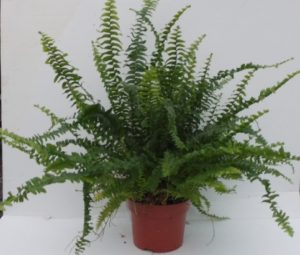 Boston fern house plant Nephrolepis make a cascading architectural interior design feature