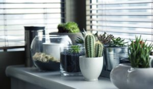 cacti in pots situated on a sunny windowsill