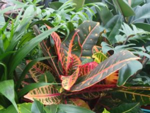 Codiaeum house plant is known as Joseph's coat of many colours
